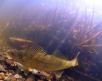 Walleye <br />