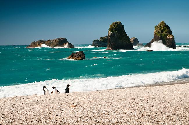 Fiordland Crested Penguins on remote beach on West Coast, South Westland, South Island, New Zealand