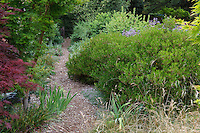 Mulched path through side yard with evergreen shrub privacy hedge in California native plant garden, Schino