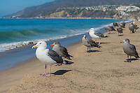 Seagulls on California beach