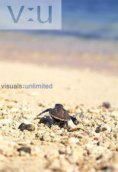 Hawksbill Sea Turtle hatchling heading for the sea ,Eretmochelys imbricata,, Fiji.