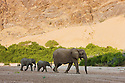 Namibia;  Namib Desert, Skeleton Coast,  desert elephant female and calves (Loxodonta africana) walking in dry river bed