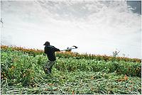 PIZCA DE LA FLORApaseo el Alto, Guanajuato. - En la comunidad de Tenango el Nuevo en el municipio de Apaseo el Alto, Guanajuato. Paula y su cuadrilla dedican su trabajo y energías a la pizca de la flor desde que se levanta el sol hasta que se pone. La hoz ayuda a segar el campo, la guadaña a limpiarlo un poco antes de la quema dejándolo listo para la siguiente siembra. Entre un mar de flores, abejas y mariposas con trabajo se distinguen las cabezas de los cortadores devorando lentamente pero diligentemente el anaranjado mar. Se cuentan veinte ramos y se hace un atado. Se juntan varios atados y se cubren con el desperdicio de la misma flor para que no muera antes de ser vendida. Solo hay tiempo para almorzar algo rápido; pues Don José necesita 50 atados más para llevar a vender al mercado en Querétaro; los viajes llegan en ocasiones a pesar hasta una tonelada y media. Así se continuará trabajando durante dos o tres días. El nombre Cempasúchitl viene del náhuatl zempoalxóchitl que significa veinte pétalos. Otros nombres con los que se le conoce son Mil Hojas, Flor de Muerto, Cempoal y en otros países se le conoce como Mexican Marigold o Aztec Marigold. Esta flor florece después de la época de lluvias alcanzando alturas que van de los 50cms a 1 metro con 80cms. Las flores van de colores amarillos a anaranjados, sus flores son compuestas y aromáticas.La flor de muerto define el ritmo de vida de la comunidad por espacio de una semana. Hay que cortar toda la flor antes de la celebración del Día de Muertos o Todos Santos. La flor se utiliza tradicionalmente en estos festejos ya que sus colores llamativos, así como su olor, le sirve a los muertos para guiarlos en el camino de vuelta hacia la tierra para poder convivir en este día con sus familiares vivos; por este motivo, por lo general se coloca la flor cerca de las tumbas y en los altares u ofrendas típicas en nuestro país.Otro de los usos actuales de esta planta es la extracción de luteí