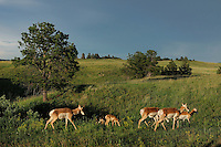 Pronghorn Antelopes (Antilocapra americana), Custer State Park, Black Hills, South Dakota, USA