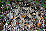 Horned Lark chicks, Kongakut River Region, Alaska