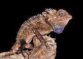 Bell's Anglehead Lizard (Gonocephalus belli), captive.