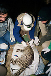 Attaching Radio Collar On Geoffroy's Cat