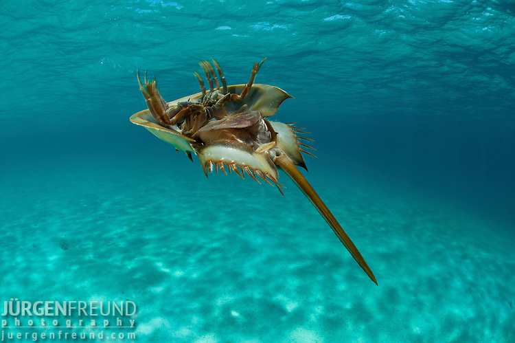 Prehistoric Horseshoe Crabs Prehistoric Horseshoe Crabs