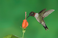 Ruby-throated Hummingbird, Archilochus colubris, male in flight feeding on Turk's Cap (Malvaviscus drummondii) , Willacy County, Rio Grande Valley, Texas, USA