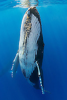 A humpback whale (Megaptera novaeangliae) with barnacles under the chin in Hawaiian waters.