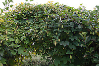 Hops Vine for Beer Making, Humulus opulus