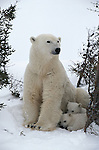 Polar bear and cubs, Canada