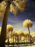 grove of palms, infrared
