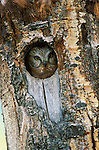 Northern saw-whet owl peeks out from its nest hole in an aspen tree.