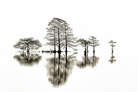 Cypress tree and reflection in black-and-white captured at Lake Mattamuskeet North Carolina.
