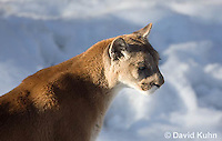 0218-1014  Mountain Lion (Cougar) in Snow, Puma concolor (syn. Felis concolor)  © David Kuhn/Dwight Kuhn Photography.
