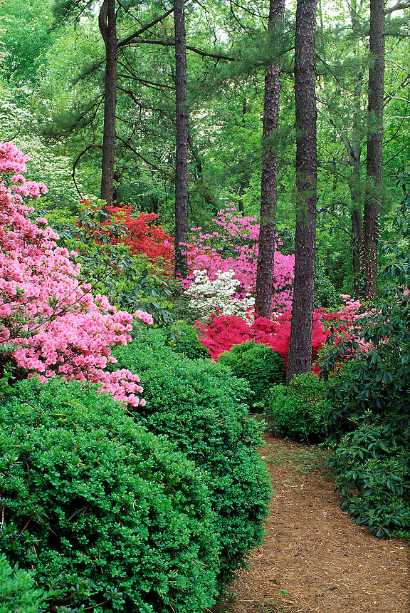 Pink, white and red azaleas with boxwood and garden path, tall straight tree trunks #5325. Virginia.