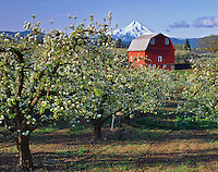Hood River County, OR: Pear orchards in blossom with red barn in Hood River Valley with Mount Hood in the distance
