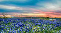 We took this photo as the sun was setting of fields Bluebonnets on this ranch in texas. We thought the sky really gave us some nice color  and you can see that it was full of bluebonnets.