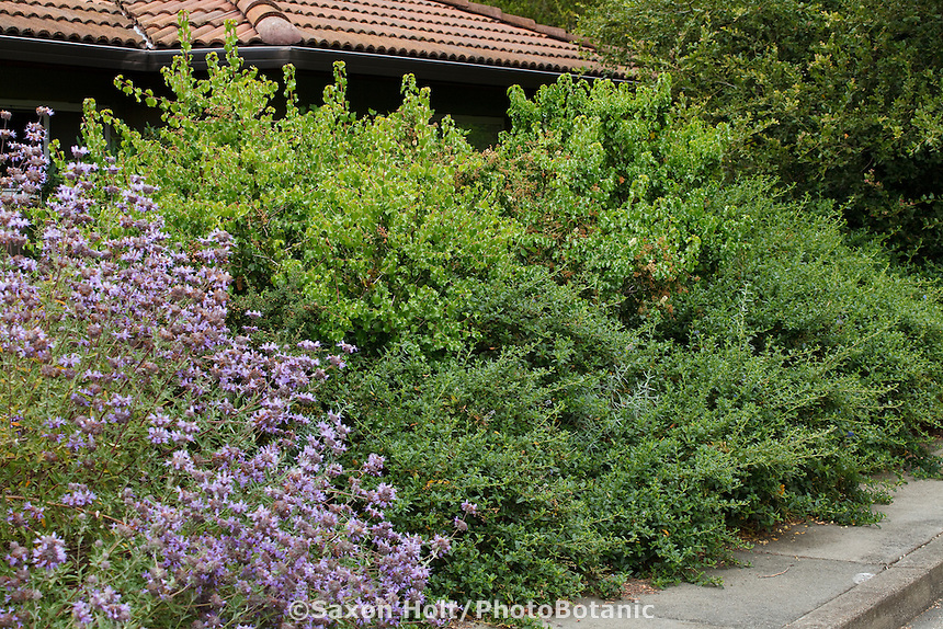 Privacy hedge with Ceanothus and Prunus by sidewalk in California small space native plant garden, Schino