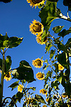 low angle view of a row of sunflowers
