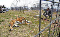 NWA Democrat-Gazette/BEN GOFF -- 03/09/15 Noah Schnur, a post-graduate intern from San Francisco, Calif., tries to entice tiger BB King to take a dose of medication wrapped in meat at Turpentine Creek Wildlife Refuge near Eureka Springs on Monday Mar. 9, 2015.