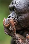 Bonobo mature male head (Pan paniscus), Lola Ya Bonobo Sanctuary, Democratic Republic of Congo.