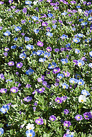Chilean Bellflower Nolana paradoxa 'Bird Mixture' with blue, purple, white flowers