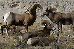 A band of bighorn sheep rests on a grassy ledge in the rugged Wildcat Hills.  By the early 1900s overhunting, degradation of their habitat, and diseases carried by domestic livestock had eliminated bighorn sheep populations in the Great Plains.  Today reintroduction projects are underway, restoring herds and habitats to certain areas of the Plains.