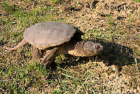 0611-0907  Snapping Turtle, Chelydra serpentina  © David Kuhn/Dwight Kuhn Photography