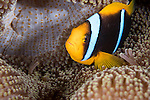 Great Barrier Reef, Australia; an orange-finned anemonefish tucks into it's host anemone