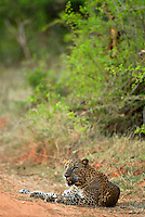 Leopard in Yala National Park,