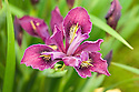 Iris 'Broadleigh Eleanor', a Pacific Coast iris from Broadleigh Gardens plant nursery.