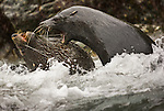 Two young southern fur seal males fight for dominance in the turbulent surf of South Georgia Island. Southern fur seals are extremely aggressive and dangerous, sometimes charging people on the shore. Fur hunters nearly brought them to extinction on the island, but the seals have rebounded to a population of approximately two million.