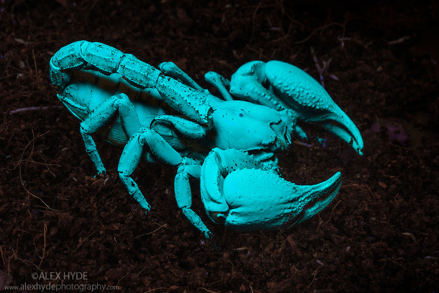 Sequence 2 of 2 showing Asian Forest Scorpion {Heterometrus spinifer} fluorescing under UV light. Captive, originating from Malaysia and Thailand.