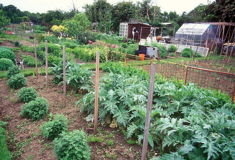Artichokes vegetable growing in ground plant flower for Large vegetable garden