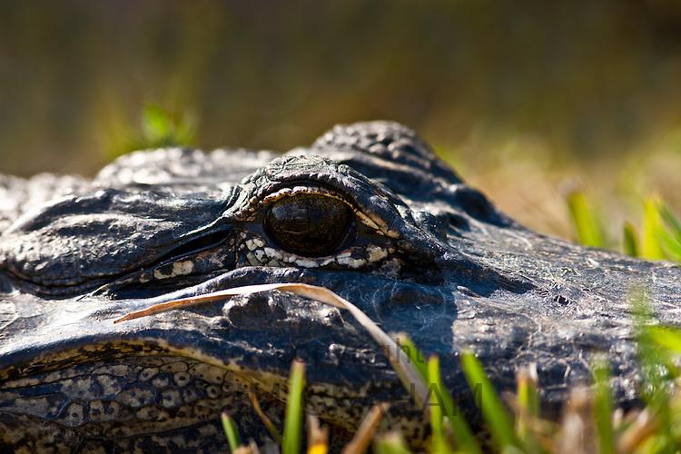 Alligator The Everglades, Florida, United States of America