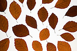 Beech leaves, Fagus sylvatica, autumnal abstract, UK