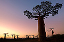 Boabab trees {Adansonia grandidieri} silhouetted at sunset. Morondava, Madagascar.
