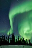 aurora borealis over spruce trees, arctic, Alaska.