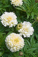 Tagetes white marigolds annual flowers