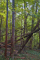 Fallen trees in a forest after a storm, Ruy, Isère, France.