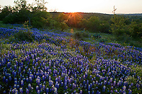 Sun flares accompany sunset on a pasture of Texas Bluebonnets in the Texas Hill Country, Llano County, Texas, USA