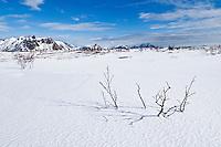Branches of birch tree break through snow of barren winter landscape, near Stamsund, Vestvågøy, Lofoten islands, Norway