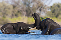 Botswana, Okavango Delta, Moremi Game Reserve, young African elephant bulls (Loxodonta africana) playing in river