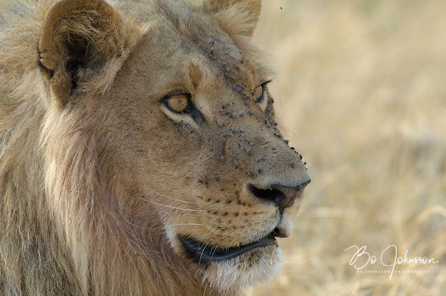 Male lion (panthera leo). Blood left in his face from the night's hunt attracts flies.<br /> The Xakanaxa side of Moremi in the Okavango Delta, Botswana.<br /> September 2007.