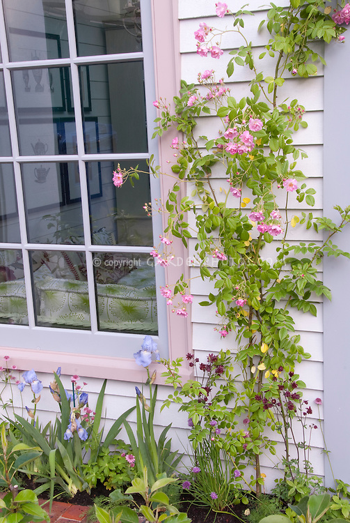 Roses trained against house next to window, in pink bloom with blue irises, matching rim of home decor