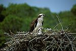 FL: Florida Everglades National Park, bird, two osprey in their nest.Photo Copyright: Lee Foster, lee@fostertravel.com, www.fostertravel.com, (510) 549-2202.Image: flever260