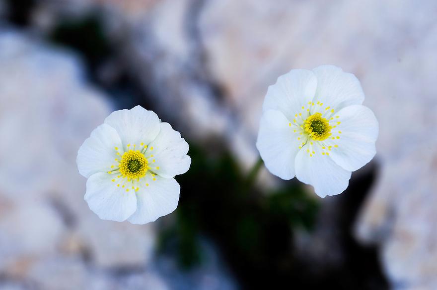 Alpine poppy (Papaver alpinum), blossom<br /> Triglav National Park, Slovenia<br /> July 2009