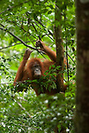 A woeful Sumatran orangutan peers out through dense forest foliage.